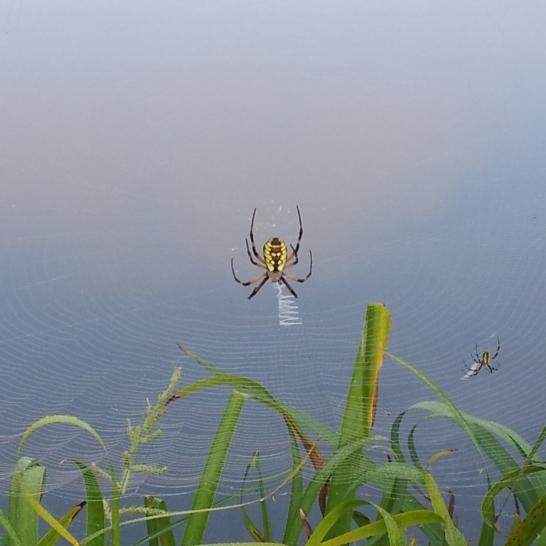 Gethsemani Spider